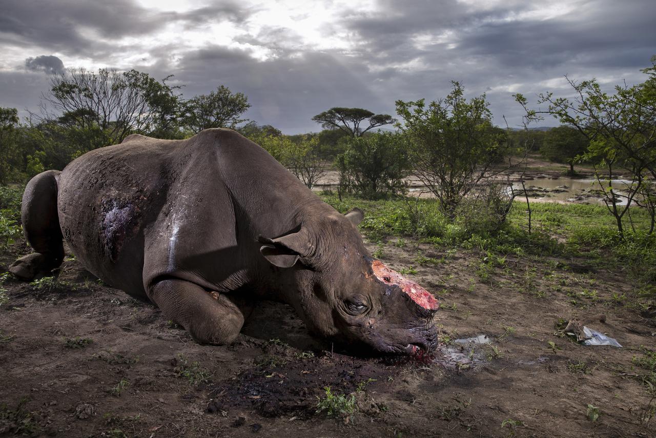 Az év természetfotója (2017)                         Fekete orrszarvú teteme fekszik a földön egy Dél-afrikai rezervátumban. Az állatot a szarváért vadászták le - feltehetően helyi lakosok, akik jó pénzt kapnak értük az orvgazdáktól. A boncolás kimutatta, hogy nagy kaliberű vadászpuskával lőtték le az állatot, a golyó átment a teljes testén, de az orrszarvú tovább szaladt, majd összerogyott. Ekkor egészen közelről adtak le még egy lövést rá, amivel kivégezték. Kevesebb mint háromezer példány él belőlük ma a vadonban.