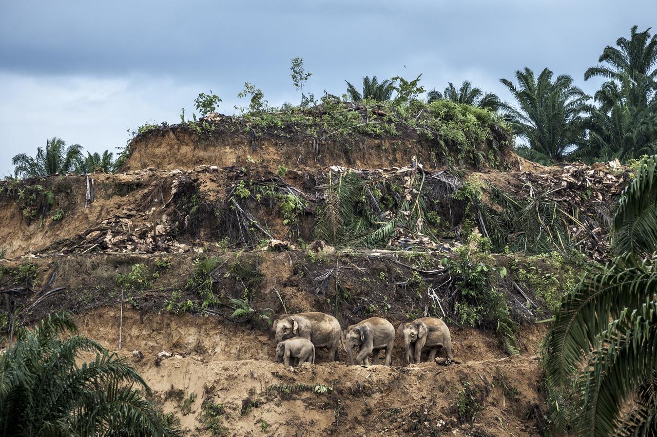 Pálmaolaj-menekültek Borneó szigetének egyik fő exportcikke a pálmaolaj, az ültetvényeket pedig teljesen le kell tarolni, mielőtt a beültetik a következő szezonra. A malajziai Sabah-tartományban az őserdő nagyobb részét már teljesen kiirtották az ültetvények terjeszkedéséhez, az őshonos elefántok pedig egyre kisebb területre szorulnak vissza. Az ültetvényekre betévedő állatok gyakran orvvadászok vagy a területüket védő farmerek áldozatai lesznek. A szigeten 300 ezer éve elszigetelten élő elefántfajnak mára mindössze 1-2 ezer példánya maradt.