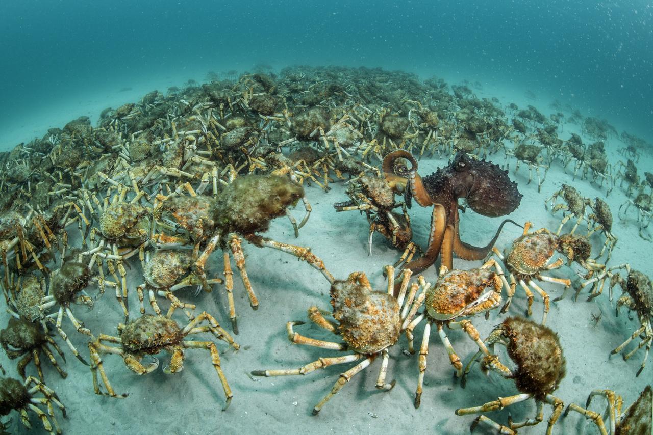 Oktopusz csap le egy csapat tengeri pókra. Ritka és izgalmas pillanat, amit eddig keveseknek sikerült megfigyelni, pláne lefotózni. Az Ausztrália partjai mentén búvárkodó fotósnak szerencséje volt, a polip pont előtte talált zsákmányra tömegben.