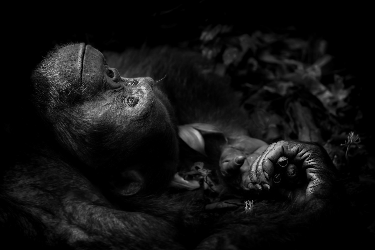 Elmélkedés - egy fiatal hím csimpánz figyeli a fák ágain ülő nőstényt, aki a fotós szerint rá sem hederített. Az állat csalódottságában legalább fél órát ült a földön, elmélázva az élet dolgain.