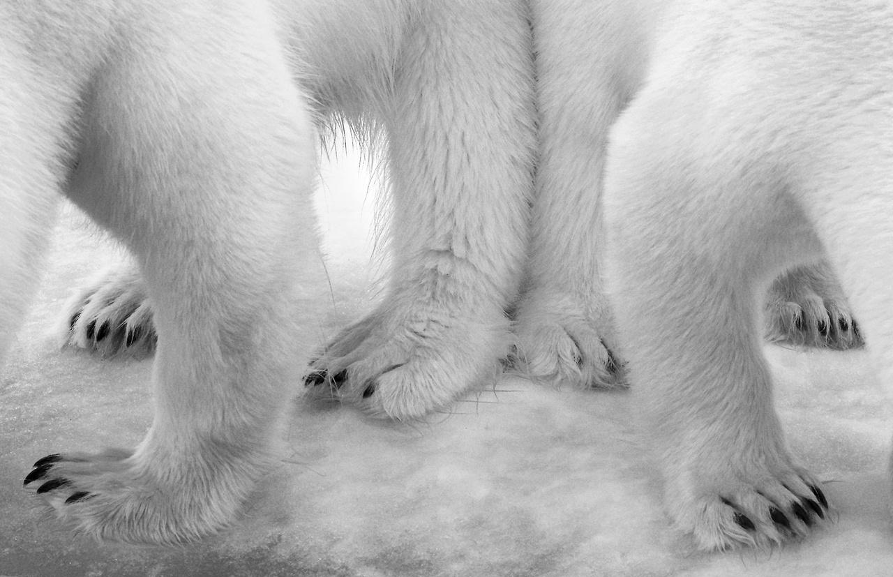 Polar pas de deux - Jegesmedvék falatoznak egy kutatóexpedíció konyhájának maradékaiból Svalbardon. A fotós csak amiatt szégyenkezik, hogy az expedíciójuk ezzel a véletlen beavatkozással teljesen felborította az állatok természetes napirendjét.