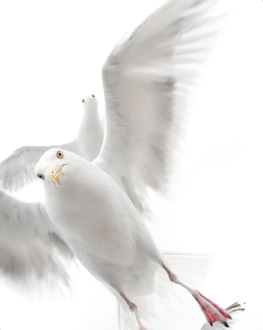 Sirályok szorításában - Egyöt és fél éves kislány lőtte ezt a képet egy csapat madárról, akik köréje sereglettek, amikor élelmet dobott nekik a földre. A norvég Ekaterina először megijedt tőlük, de aztán elővette a kameráját és készített róluk néhány fotót is.