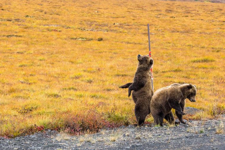 Igen, ez két grizzly medve, amelyeknek viszketett a hátuk, úgyhogy megvakarták.