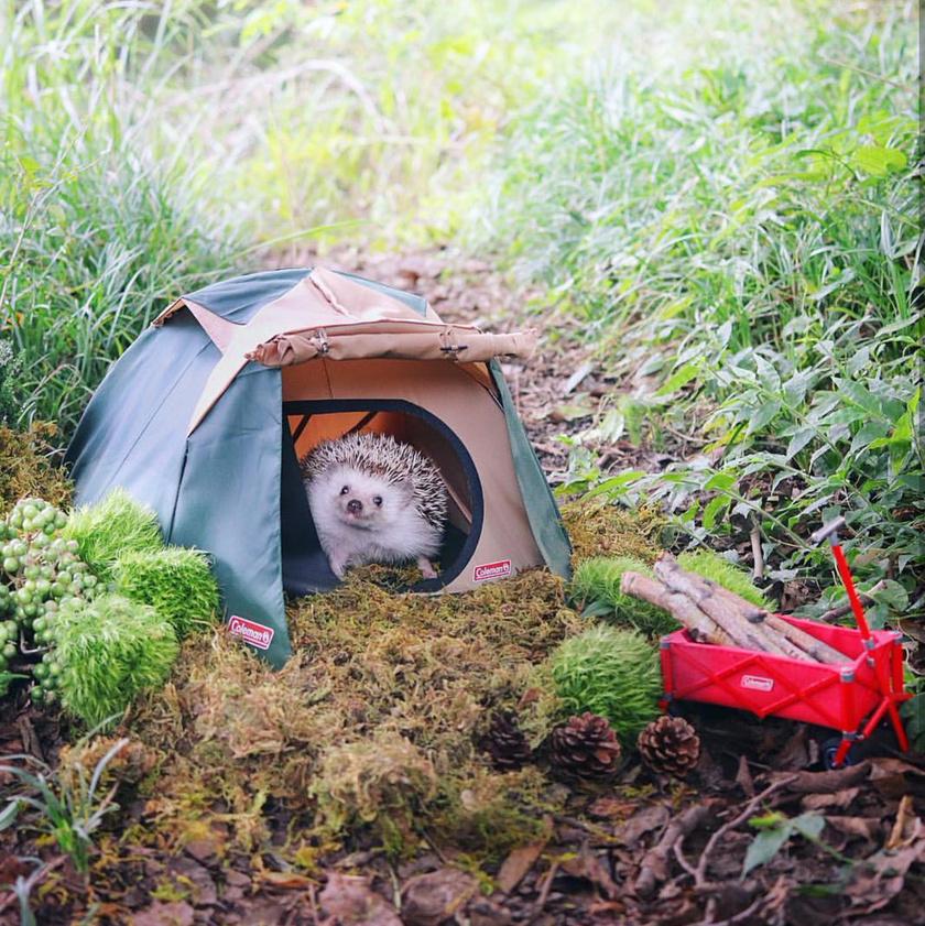 Saját kis sátrából kandikál ki a népszerű sün, Azuki. Még rőzsehordó talicskát is kapott a nagy kalandhoz.