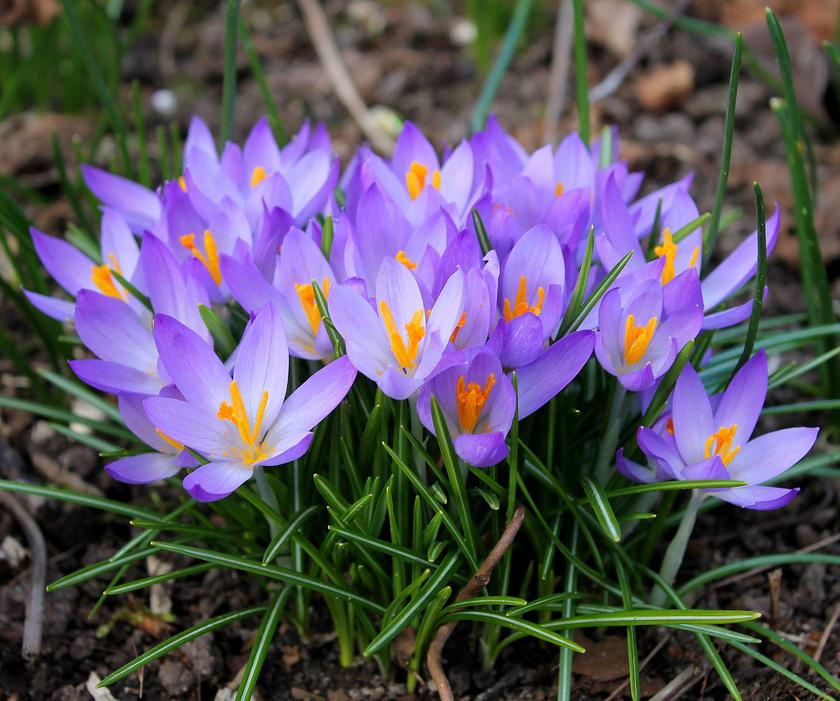 A krókusz vagy más néven sáfrány az első tavaszi virágok egyike: akár a hó alól is kibújik. Öt-nyolc centiméter mélyre ültesd, a kert és a balkonláda földjében is jól érzi magát.