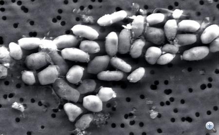 A Mono-tóban talált új -  GFAJ-1 azonosítójú - baktériumok. Foszfor helyett arzén van a DNS-ükben. Egy baktérium kb. 2-3 nanométeres.