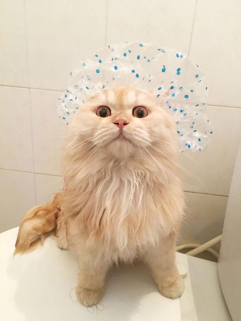 Meepo gazdája kreatívan áll a cica vízszeretetéhez, és cuki zuhanysapkákkal teszi még mókásabbá a helyzetet.