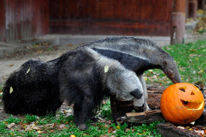 Töklámpásból kapott enni a Fővárosi Állat- és Növénykert Bejgli nevű sörényes hangyásza a közelgő Halloween ünnep alkalmából.