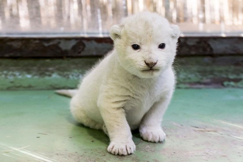 Igazi örömhír: megszületett az első oroszlánkölyök a Szegedi Vadasparkban