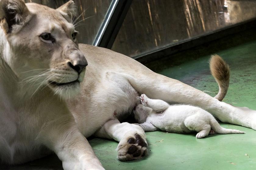 Ma hozta nyilvánosságra a Szegedi Vadaspark a kisoroszlán születését, akinek szülei, Nadja és Timba 2012 óta laknak az állatkertben.