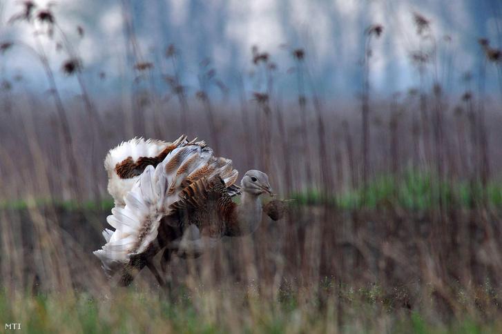 Egy túzokkakas dürög a Győr-Moson-Sopron megyei Lajta folyó mentén. A fokozottan védett túzok (Otis tarda) Európa legnagyobb testű madara, eszmei értéke 1 millió forint.