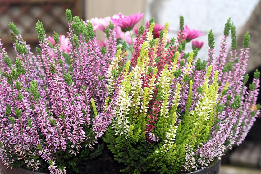 Méltán kedvelt balkonnövény a csarab, más néven erika. Norvégiából származik, nagyon jól tűri a hideg telet, és gyönyörű. Hagyományosan gyógynövényként is használják húgyúti panaszokra.
