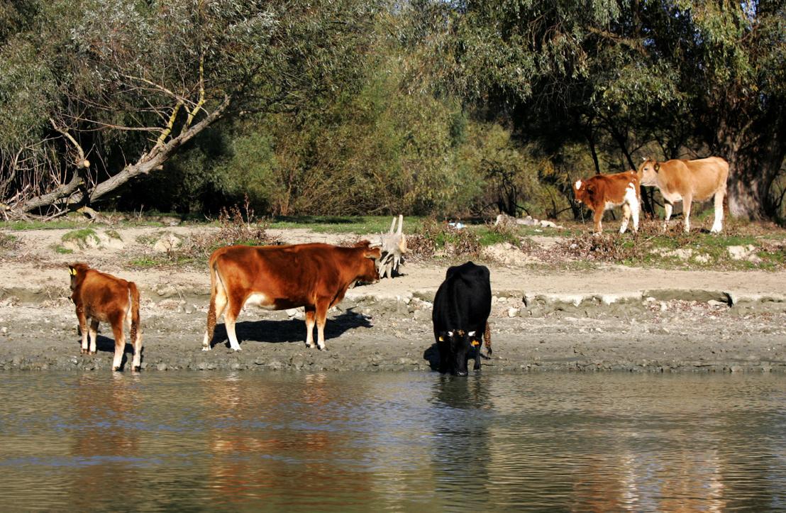 Egyre jobban feljövőben az állattartás, a deltában most a szarvasmarha a sláger, az elmúlt években sokezerre duzzadt az állomány, melynek java része tulajdonképpen szabadon él, igazi ridegtartásban