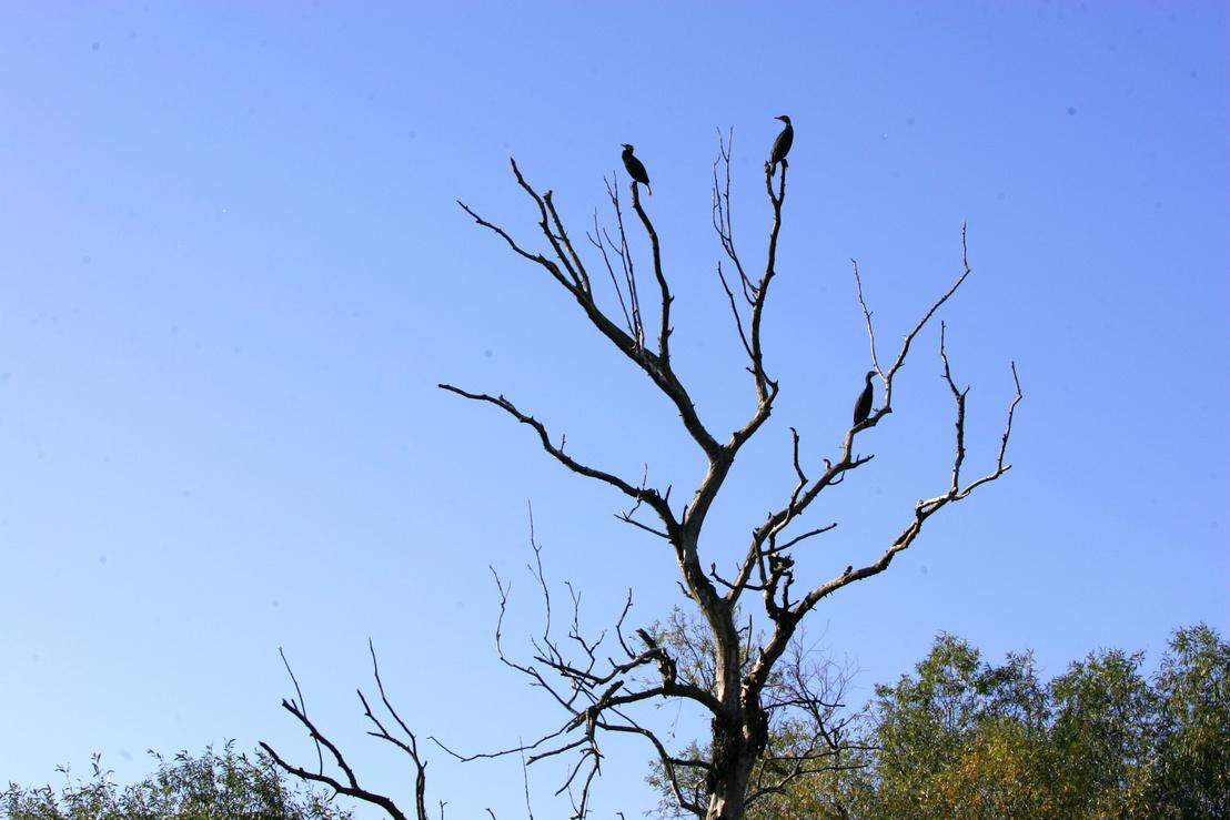A kormorán ürüléke annyira savas, hogy amelyik fán szívesen ülnek, az előbb-utóbb kipusztul