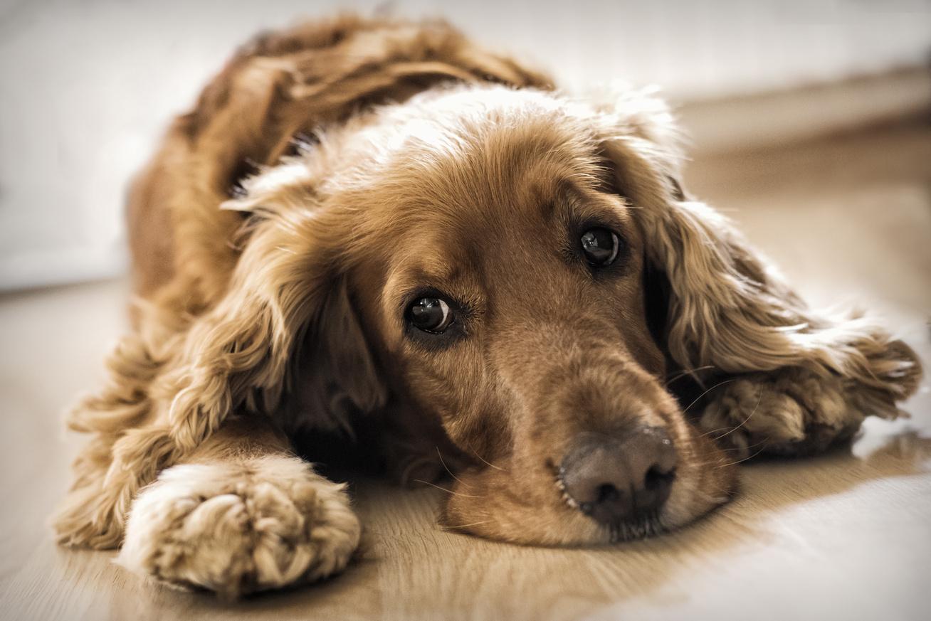 szomoru-spaniel-beteg-kutya
