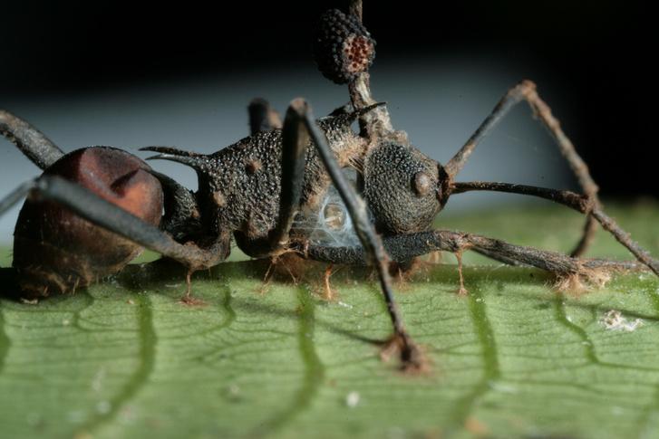 Gombával fertőzött hangyazombi