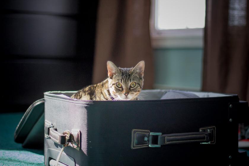 utazó cica
