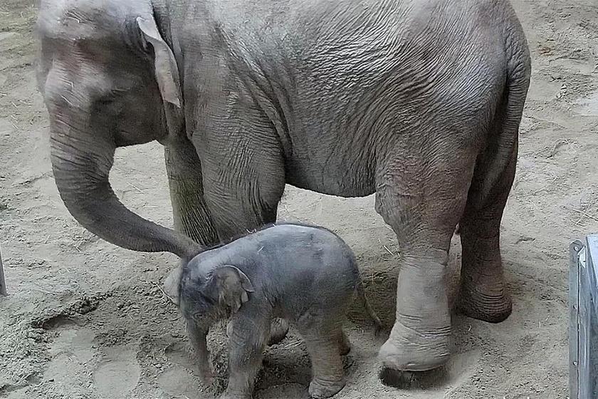 A hírek aktuális sztárja a november 8-án a Fővárosi Állatkertben Angele és Assam borjaként született hímelefánt. Nővérét, Ashát öt éve csak másfél hét után mutatták be, míg a kicsi bikával már találkozhatsz.