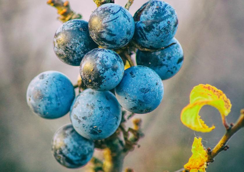 A kökény az erdőszélek gyakori, fanyar ízű bogyója, amit dércsípés után gyűjtenek. C-vitaminban, csersavban és ellagsavban gazdag, finom szósz, lekvár készíthető belőle, de szárítva vagy fagyasztva is elteheted.