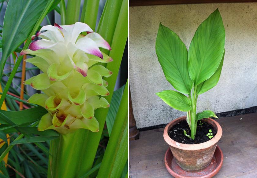 Bár a boltokban már csak a gyökér őrleményével találkozik az ember, a kurkuma növénye csodaszép.
