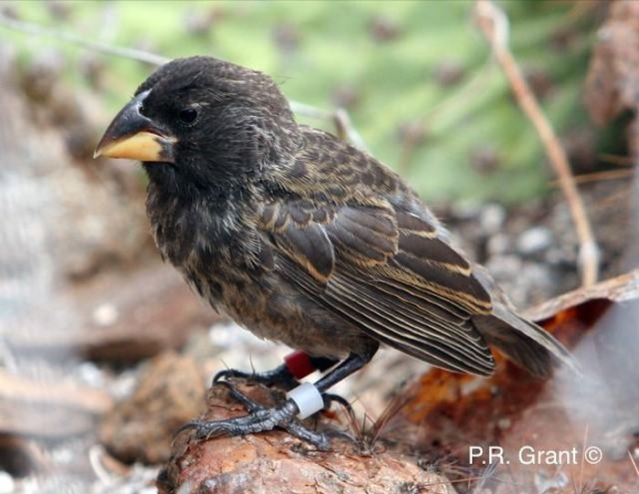 big-bird-finch-galapagos-new-species