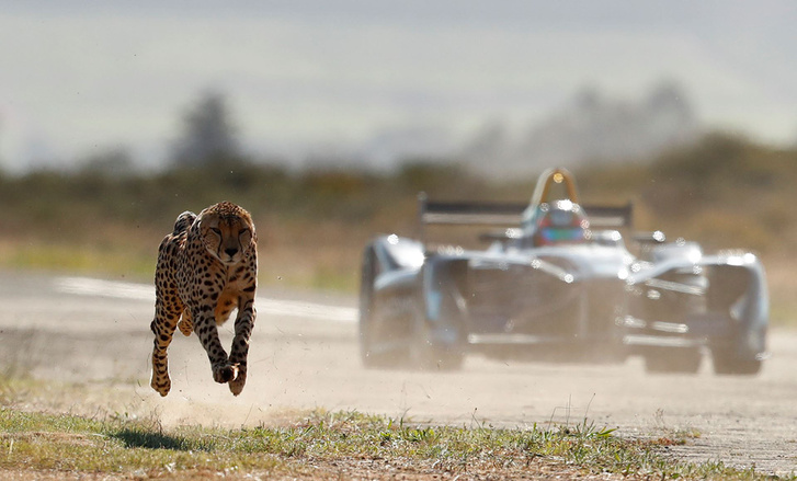 cheetah leading car at start (1)