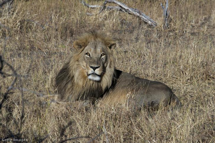 Hím oroszlán a botswanai Chobe Nemzeti Parkban