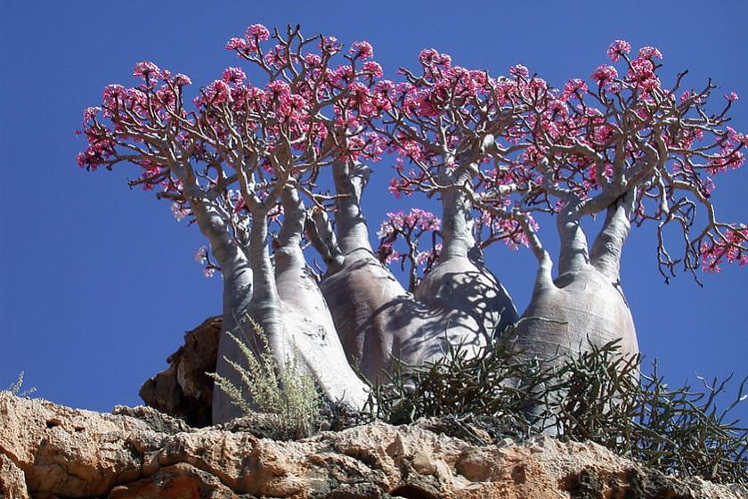 A socotrai sivatagi rózsa egyike a leghíresebb és leglátványosabb socotrai palackfáknak. Az Adenium obesum sokotranum száraz területeken öt méter magasra is megnő, és élénk színű virágokat bont.