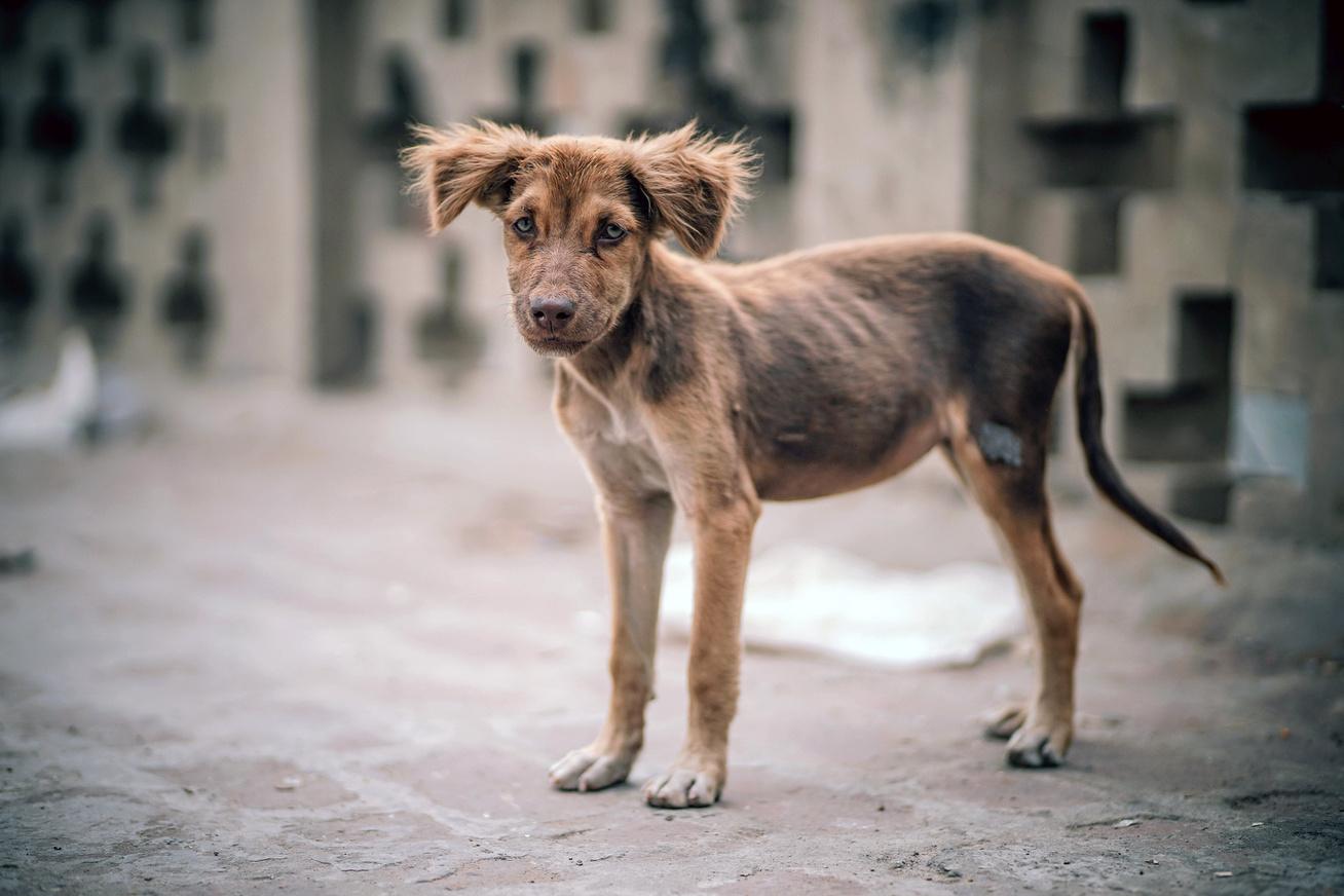 kobor-kutya