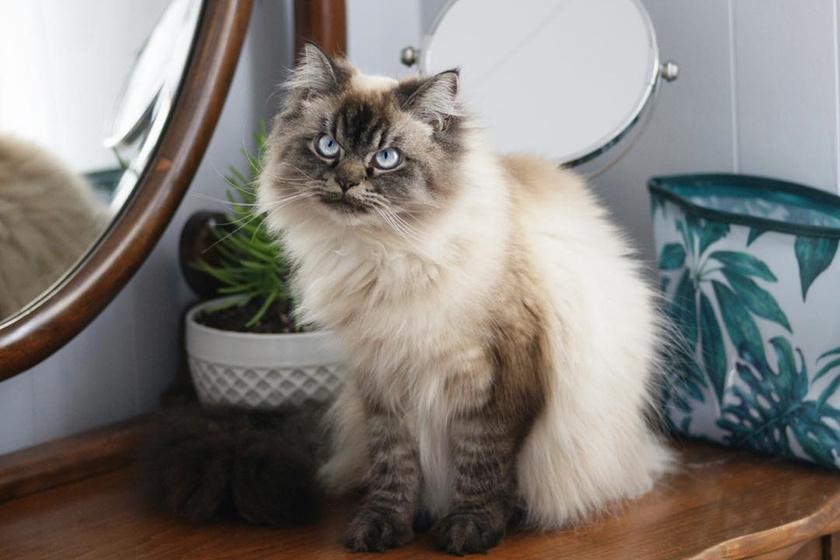 Merlin, a gyönyörű cica különlegessége, hogy olyan, mintha mindig bosszús arcot vágna.