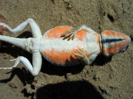 Ctenophorus maculosus (Fotó: Devi Stuart-Fox)