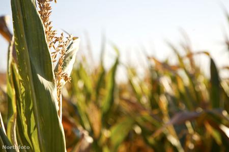 corn450