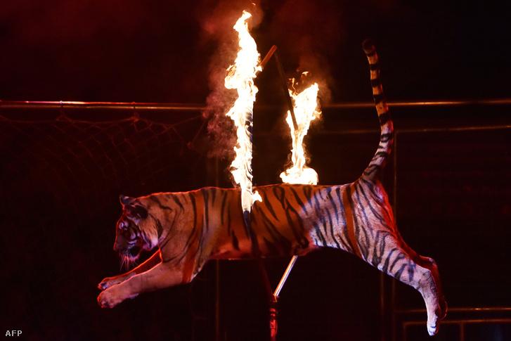 Tűzkarikán átugró tigris az Ukrán nemzeti Cirkuszban 2016 szeptemberében