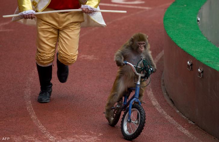 Bicikliző majom Sanghajban 2014 januárjában