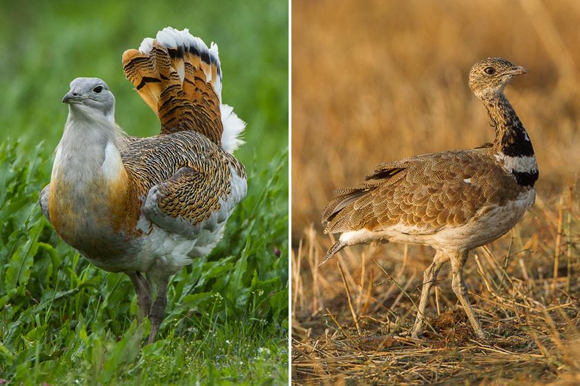 A túzok a magyar fauna emblematikus állata. A dévaványai rezervátum és a Hortobágy 1 millió forint eszmei értékű kincse. Kisebb rokona, a reznek 500 ezer forintot ér, és szintén a túlzott vadászat miatt ritka.