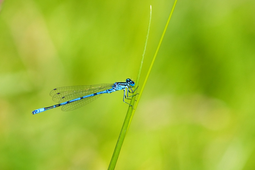 A jótékony szitakötő legfontosabb tápláléka a szúnyogok, legyek és más repülő rovarok lárvája, ezért jó dolog, ha beköltözik a kertedbe.