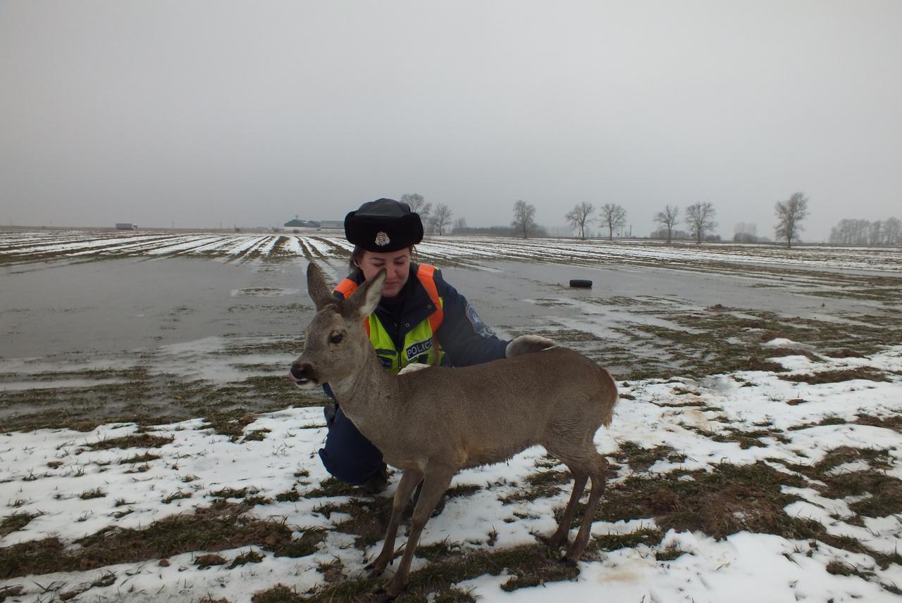 Ezt a berettyóújfalusi őzet akkor örökítették meg, amikor megmenekült a jég fogságából a rendőrség segítségével. Igazi happy endet jósol ez a kép 2017-re, és boldog, sikerekben gazdag új évet 2018-ra. Az emberi jóság és az állatok megmentése lebegjen mindenki szeme előtt, és akkor jó lesz mindenkinek. Na meg ez a csodás kép a szerencsés őzről.