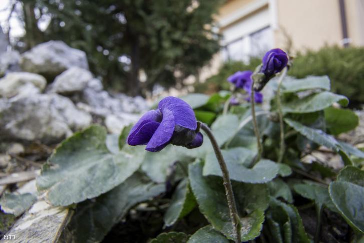 Virágzó ibolyák (Viola odorata) az enyhe időben Nagykanizsán 2017. december 30-án.