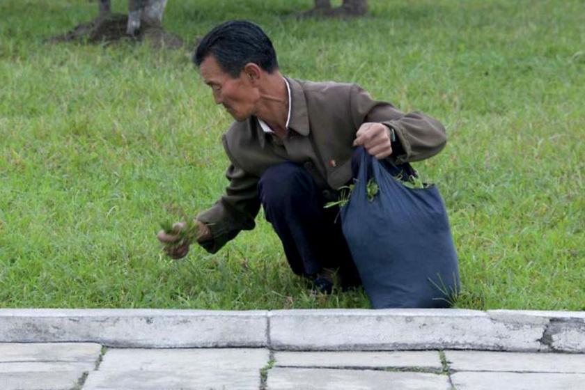 Észak-Koreában gyakran füvet szednek az emberek, egyesek szerint azért, mert nincs más ennivaló, mások szerint pedig kényszermunkában kell rendezniük a terepet, fűnyíró hiányában.