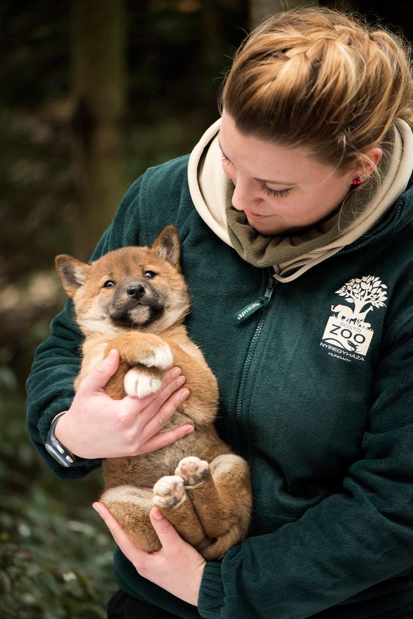 Biácsi Alexandra állatorvos tegnap mutatta be a sajtó munkatársainak a héthetes dingókölyköt.