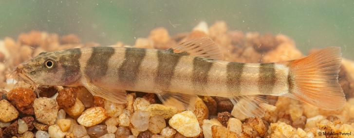Schistura kampucheensis