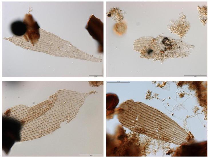 A vizsgált lepkeszárny-fosszíliák