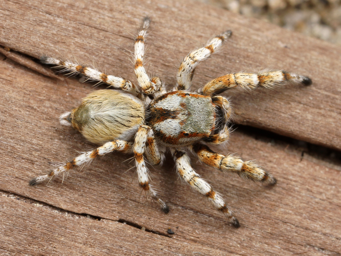 spider-hairy-arachnid-adult-45887