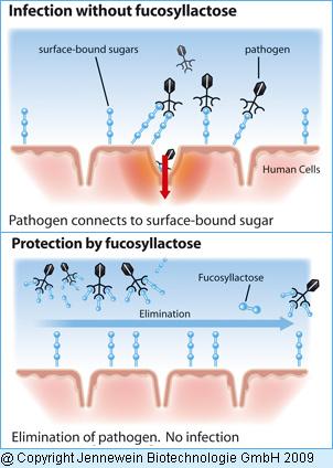 Védelmi vonal a kórokozók ellen (kép: Jennewein Biotechnologie)