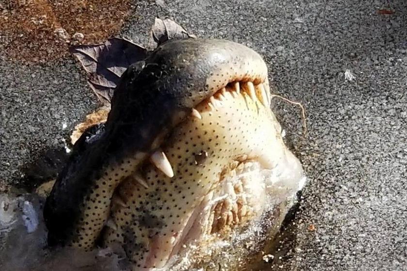 aligator-jeg