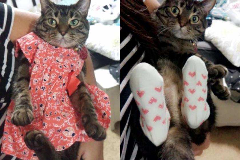 beoltozott-macska