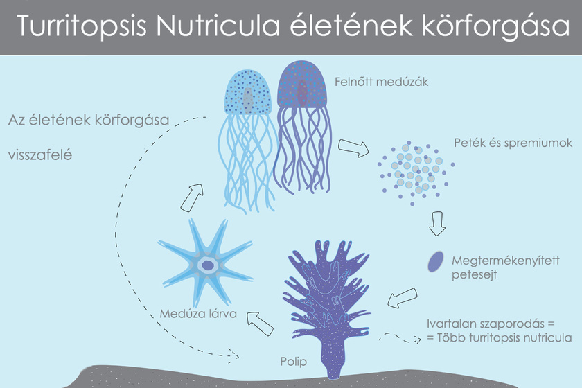 halhatatlan-meduza-elet-korforgasa