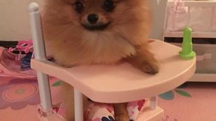 Mindenki nyugodjon le, senki ne kutassa tovább, a Paris Hilton által keresett kutya már hazatért