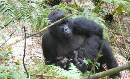 mountain gorilla twins
