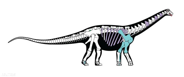 A Mansourasaurus shahinae csontvázának rekonstrukciós képe